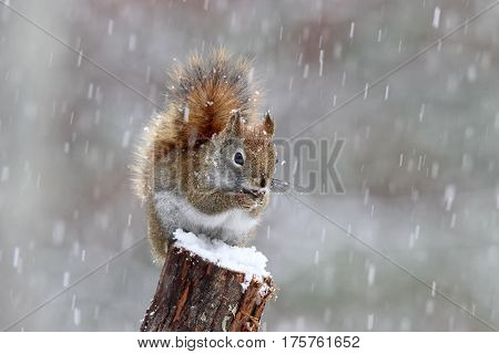 An American red squirrel on a snowy winter day.