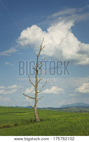 Solitary Barren Tree In A Green Wheat Field
