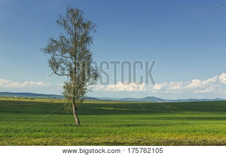 Solitary Tree In A Green Wheat Field