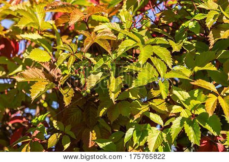 Close up of autumn wild grape leaves background