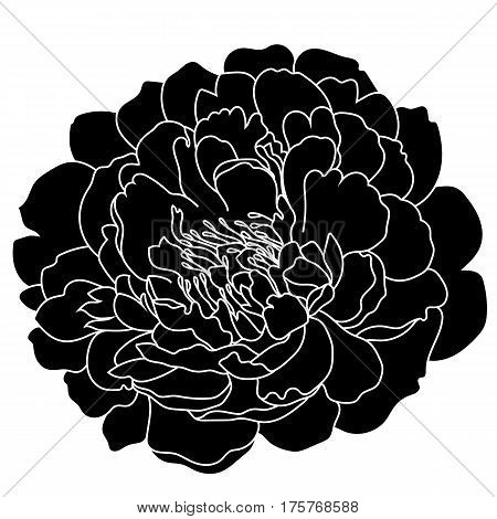 Graphical black and white peony bud, sketch, isolated on a white background. Vector.