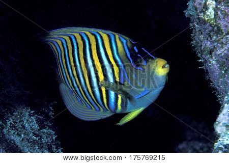 A Regal Angelfish, Pygoplites diacanthus in a reef crevice at the Kwajalein Atoll in the Pacific