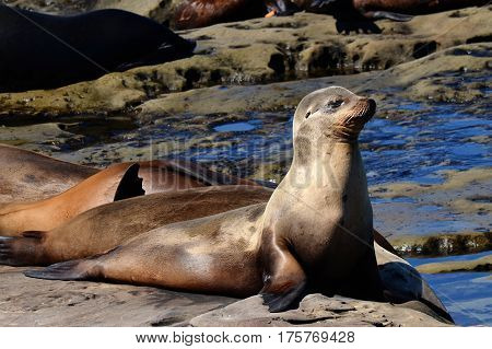 Young seal sunning by the Pacific coast