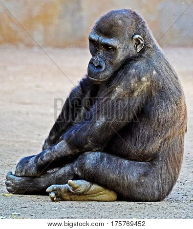 Young silver back gorilla sitting cross legged pondering