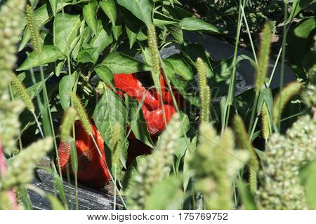 Sweet,Red, Bell peppers, also known as sweet pepper still on the plant. Their colors including red, yellow, orange and green