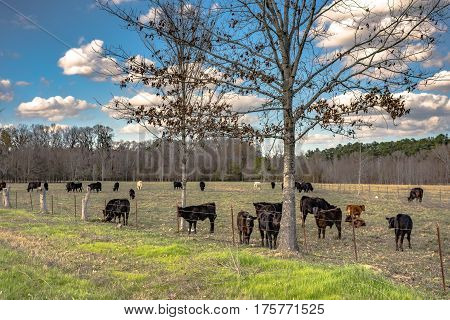 Commercial cattle in an early spring pasture with blue sky and clouds