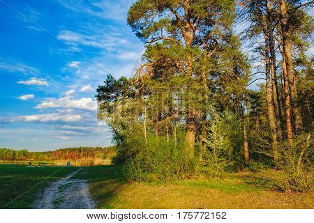 Tall old trees i mixed deciduous-coniferous forest with birch pine blooming lilacs in the foreground, Irpen, Ukraine. The edge of the forest in the evening sun. Young couple admiring nature