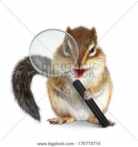 Funny pet chipmunk searching with magnifying glass onm white