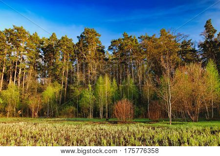 Mixed deciduous-coniferous forest landscape under evening sky with clouds in sunlight, Irpin, Ukraine. Green meadow with trail to forest with sun beam
