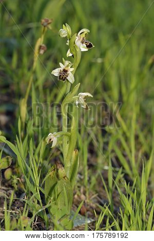 Carmel Ophrys Orchid - Ophrys umbilicata From Cyprus
