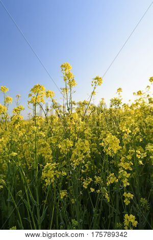 Bright Yellow Canola Flowers in Spring with Blue Sky