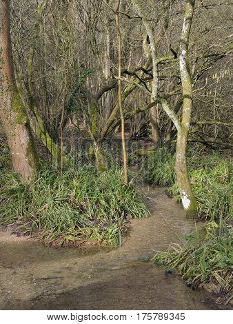Kilcott Brook Miger Wood Woodland stream in a Cotswold Woodland in Late Winter