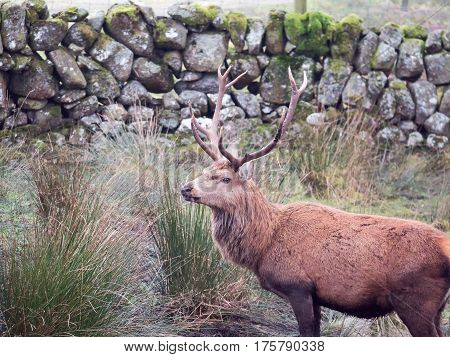 Close up of red deer male stag