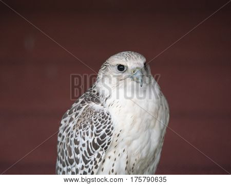Peregrine falcon, the fastest animal on the planet