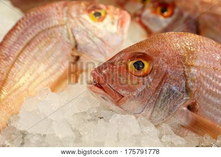 Large-eye dentex or Dentex macrophthalmus on ice for salle in the greek fish market on the background of other fishes. Horizontal. Close up.