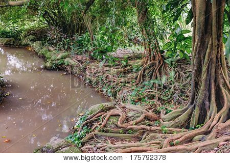 Old Ficus tree with big roots and flowering plants of Dieffenbachia between the roots growing on the banks of the small muddy river in tropical jungle. Botanical photography.