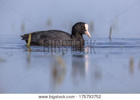 Eurasian Coot Waterfowl Swimming In Blue Water
