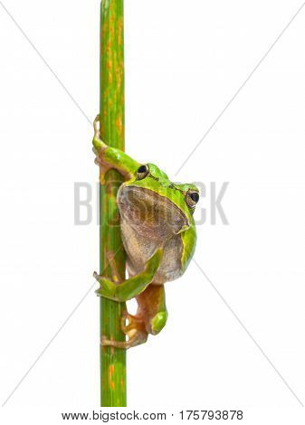 European Tree Frog Frontal Vertical