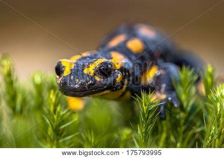 Fire Salamander On Moss