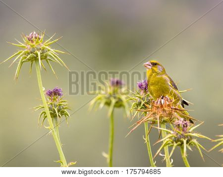Greenfinch Feeding On Thistle Seeds