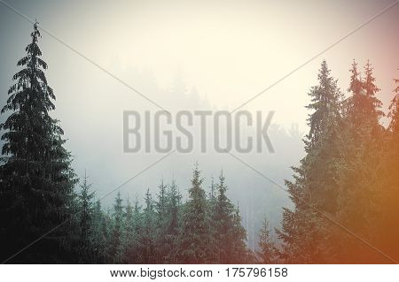 photo of the beautiful fur tree forest on the wonderful sky background