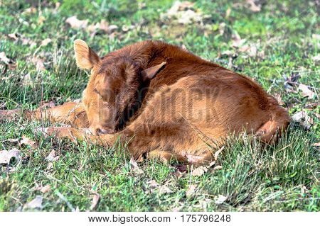 Red commerical calf sleeping in a spring pasture