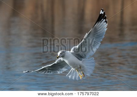 Ring-billed gull hovering with spread wings over open water..