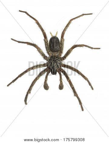 Overhead for of a (dead), male, Australian, funnel web spider
