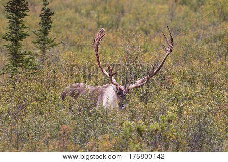 a barren ground caribou bull in fall in Denali National park Alaska