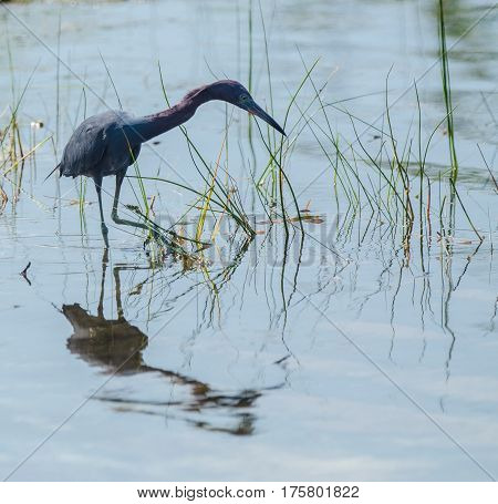 a little blue heron wading in a pond lifting its foot with reflections in the water