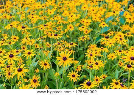 Black eyed susan- rudbeckia flowers summer flower garden background. selective focus shallow dof