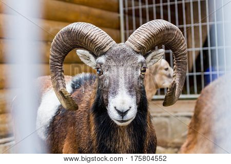 Portrait Ovis Ammon. Wild Sheep. Clouse-up.