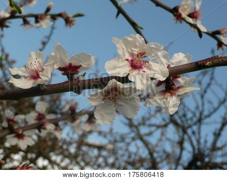 The plum blossoms are seen close up on a twig against a robins egg blue sky