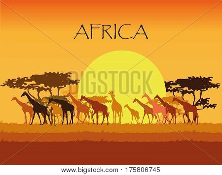 Vector Background with giraffes silhouettes in Savannah with trees, grass and sun