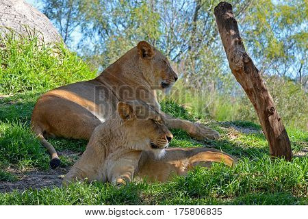 Two lions surveying the grassland awaiting dinner