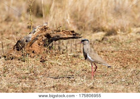 Crowned Lapwing From South Africa, Pilanesberg National Park