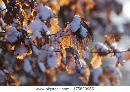 Beech leaves with snow in Taunus Hesse Germany
