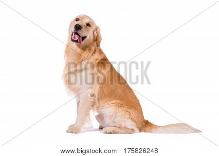 Golden Retriever adult sitting clowning at camera isolated on white background