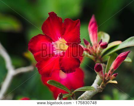 Desert Rose or Impala Lily or Mock Azalea