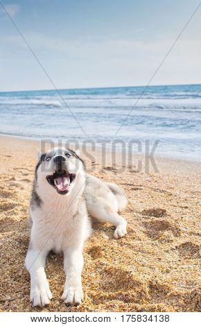 husky dog at sea beach