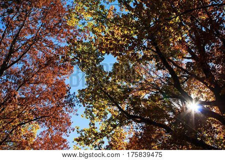 Sunlight with lens flare shines through colorful autumn tree leaves with cobalt blue sky