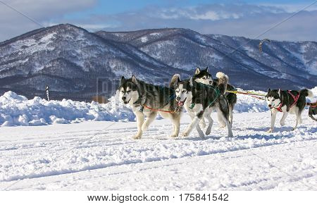 Sled dog race on snow in winter.