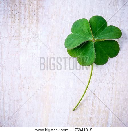 Clover leaves on shabby wooden background. The symbolic of Four Leaf Clover the first is for faith the second is for hope the third is for love and the fourth is for luck.