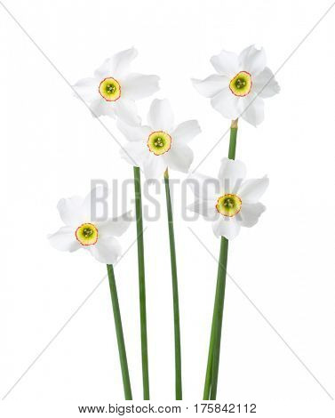 Five  white narcissus (Narcissus poeticus) isolated on white.
