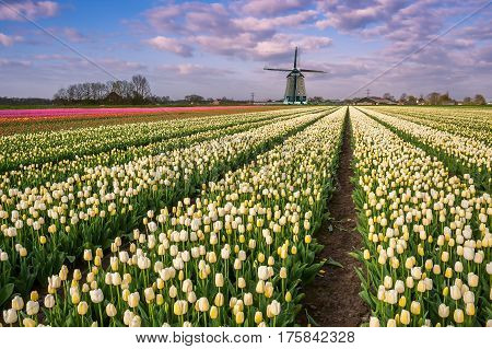 Tulip Flowers Field And Windmill