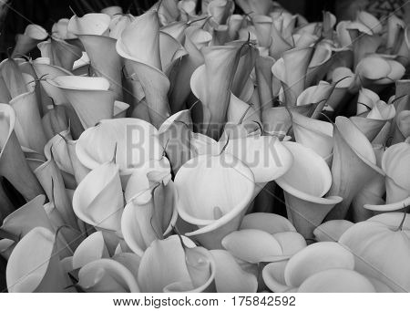 Arum Lily Flowers At The Rural Market