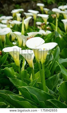 Arum Lily Flowers On The Field