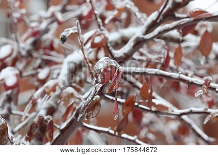 Red icy foliage close-up with blurred background after an ice storm rain.