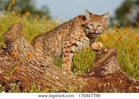 Bobcat Standing On A Log