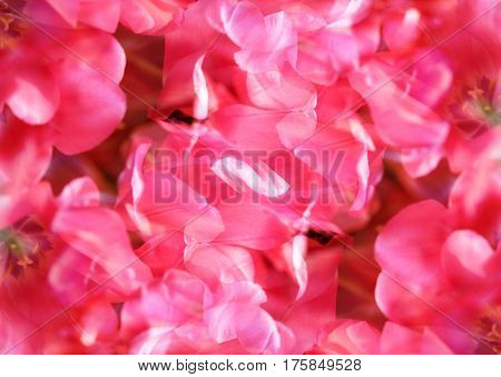 Background of beautiful bright pink spring tulips